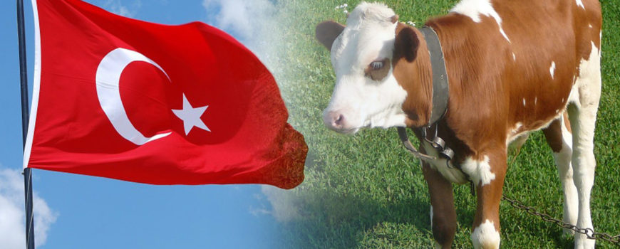 Turcia-cumpara-bovine-din-romania
