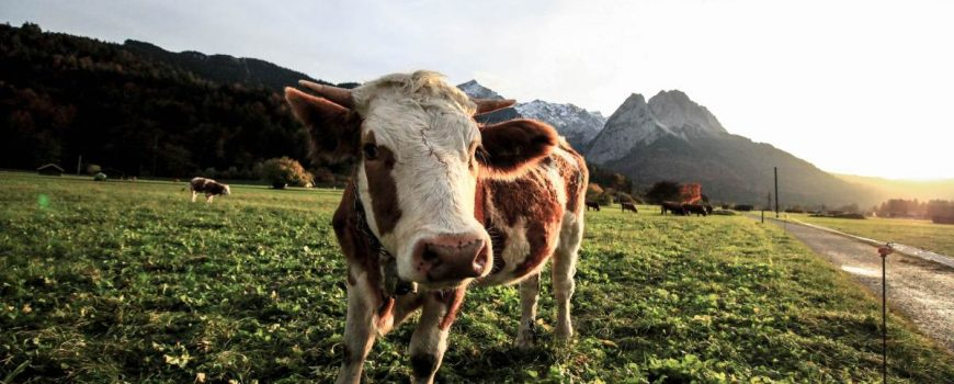 Colectarea-laptelui-in zona montana-senat