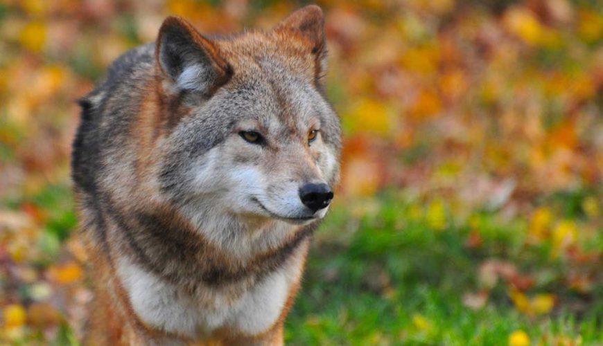 Fermele-atacate-de-lupi