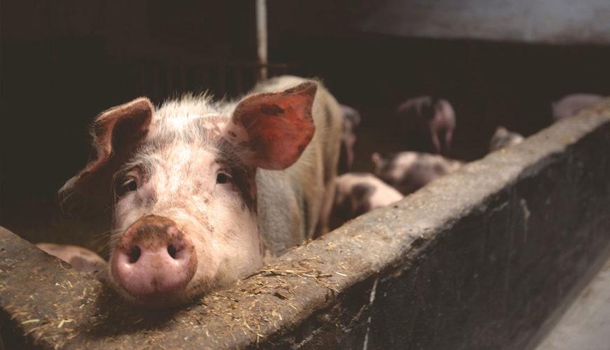 ANSVSA-anunta-valoarea-despagubirilor-alocate-din-cauza-evolutiei-pestei-porcine-africane