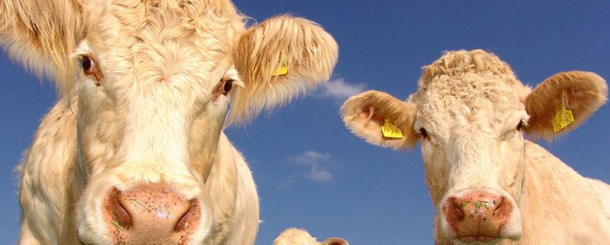 Noi-teste-ale-pielii-in-avans-impotriva-tuberculozei-bovinelor