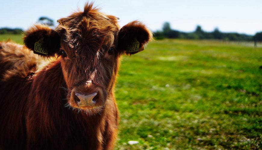 Subventii-bovine-2020-Numarul-minim-de-vaci-de-lapte-pentru-platile-APIA-pe-cap-de-animal